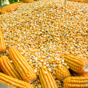 bulk corn prices, bulk corn prices Suppliers and Manufacturers at