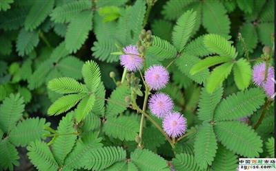 High quality mimosa hostilis root bark extract Sensitive Plant Extract/Mimosa P.E. with mimosine